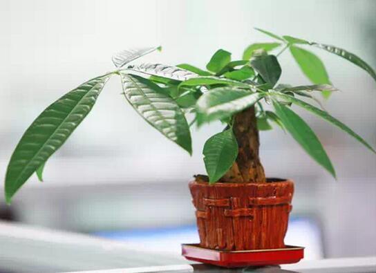 綠色植物,不僅為家增添了一抹綠色,讓家看起來生機勃勃,也能起到凈化空氣的作用!但不同植物放置的位置不同,也會帶來不同的好運哦,下面一起來了解一下,漲漲知識吧~ 發財樹  發財樹寓意吉祥,顧名思義就是能招財。一般來說,葉片為尖狀的,用于化煞。而圓片葉的植物,能給客廳起到生旺的風水作用。它的花色有紅、白或淡黃色,色澤比較艷麗。如果將發財樹擺放在客廳的正東或是東南方,將有利于發財樹的生長,能夠給家中招來財富。 常春藤  常春藤可以說是非常理想的室內植物,它的枝蔓比較細弱柔軟,外形很美觀。它是典型的陰性植物,也能